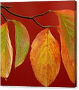 Autumn Dogwood Leaves On Red Canvas Print