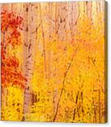 Autumn Forest Wbirch Trees Canada Canvas Print