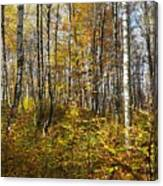 Autumn In The Birches Forest Canvas Print