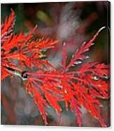 Autumn Japanese Maple Canvas Print