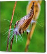 Autumn Milkweed 7 Canvas Print