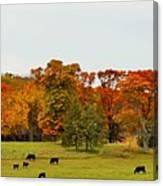 Autumn Minnesota Black Angus Cattle Canvas Print