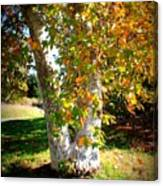 Autumn Sycamore Tree Canvas Print