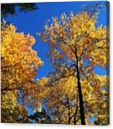 Autumn Yellow Foliage On Tall Trees Against A Blue Sky In Palermo Canvas Print