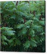 Awaiting The Sumac Canvas Print