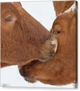 Ayrshire Affection Canvas Print