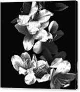 Azaela Blossom In Black And White Canvas Print