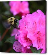 Azalea And Mr. Bumbles 05 Canvas Print