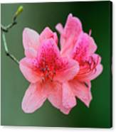 Azalea Blooms On A Green Background Canvas Print