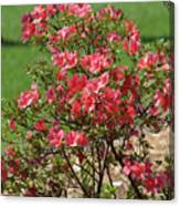 Azalea Bush 2  Canvas Print