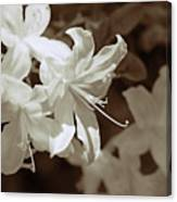 Azalea Flowers In Sepia Brown Canvas Print