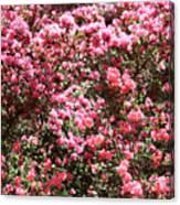 Azaleas Aplenty Canvas Print