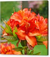 Azaleas Art Home Decor 14 Orange Azalea Flowers Art Prints Greeting Cards Canvas Print