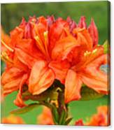 Azaleas Orange Red Azalea Flowers 11 Botanical Giclee Art Baslee Troutman Canvas Print