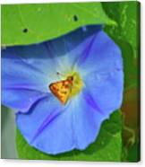 Azure Morning Glory Canvas Print