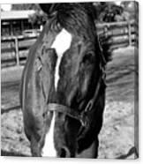 B And W Horse Headshot Canvas Print