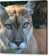 Babcock Wilderness Ranch - Oceola The Panther Pleasantly Peering Canvas Print