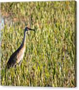Babcock Wilderness Ranch - Sandhill Crane Canvas Print