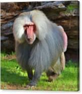 Baboon Stalking Canvas Print