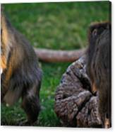 Baboons  Canvas Print