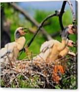 Baby Anhinga Chicks Canvas Print