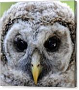 Baby Barred Owl-2 Canvas Print