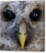 Baby Barred Owl 3 Canvas Print