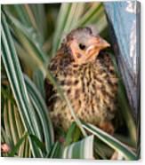 Baby Bird Hiding In Grass Canvas Print