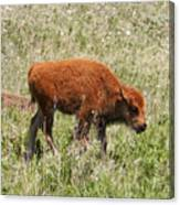 Baby Bison Canvas Print