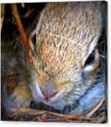 Baby Bunny Canvas Print