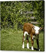 Baby Calf 2 Canvas Print