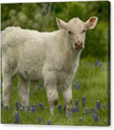 Baby Calf With Bluebonnets Canvas Print