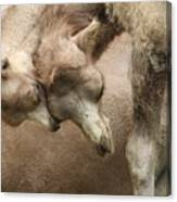 Baby Camels Canvas Print