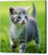Baby Cat Canvas Print