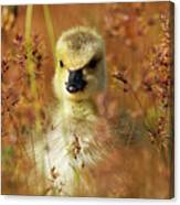 Baby Cuteness - Young Canada Goose Canvas Print