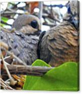 Baby Doves 2 Canvas Print