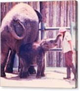 Baby Elephant At Zoo 1988 Canvas Print
