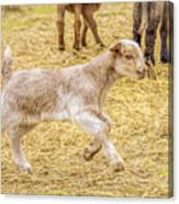 Baby Goat On The Run Canvas Print