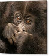 Baby Gorilla Close-up Hiding Mouth With Hands Canvas Print