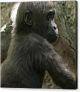 Baby Gorilla2 Canvas Print