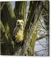 Baby Great Horned Owl Canvas Print