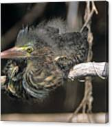 Baby Green Heron Resting On A Branch Canvas Print