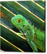 Baby Green Iguana Canvas Print