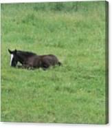Baby Horse Canvas Print