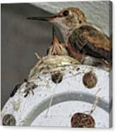 Baby Hummers 2 Canvas Print