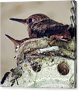 Baby Hummers Canvas Print