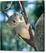 Baby Koala Bear Canvas Print