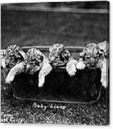 Baby Lions, C1900 Canvas Print
