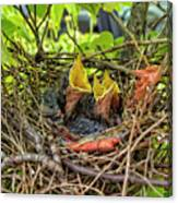 Baby Mockingbirds Canvas Print