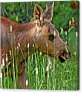 Baby Moose Canvas Print